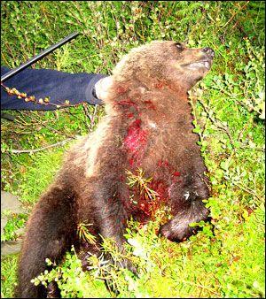 Fikk besøk av bjørn i teltet – VG