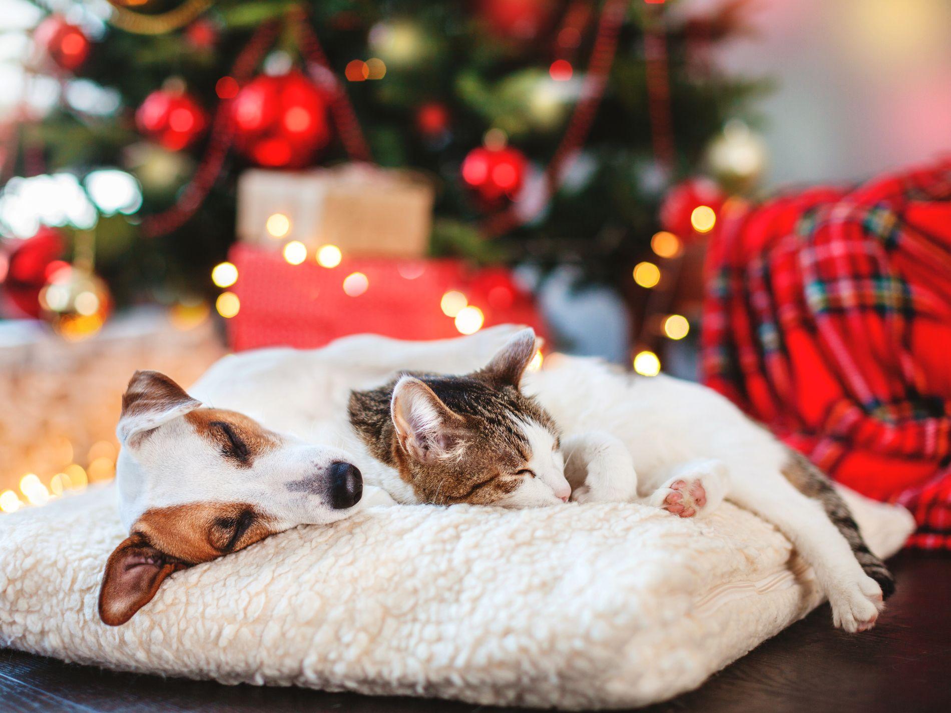 Hit kan du ta med hunden din på nyttårsaften – VG